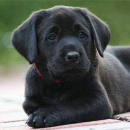 Limitless Labradors Labrador Retriever Aus Arbeitslinien Drc Lcd Vdh Jghv Fci